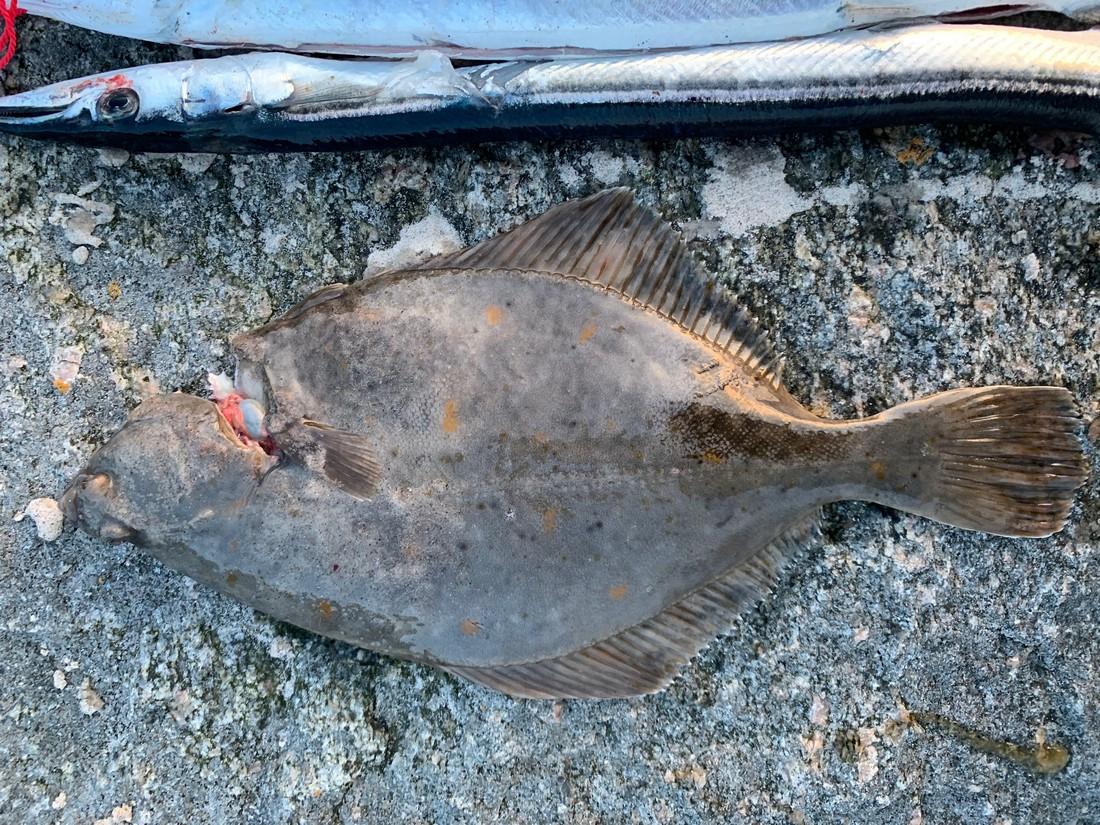 Plattfisch und Hornhechte