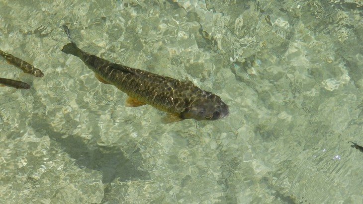 Karpfenfisch Nase
